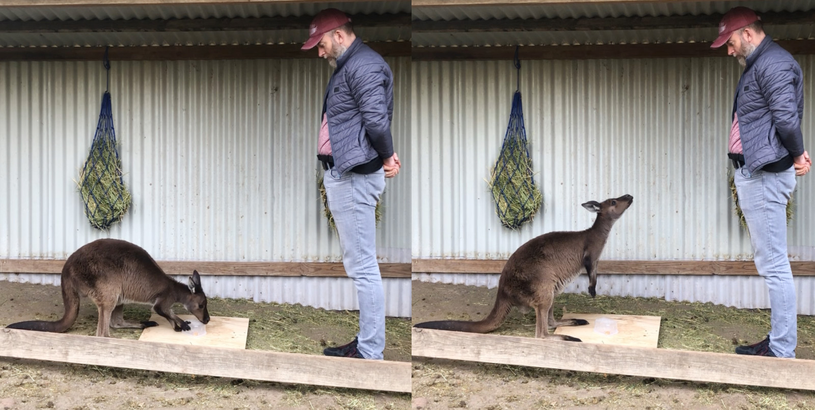 A kangaroo displays gaze alternation between the transparent box with food inside it and with a human.