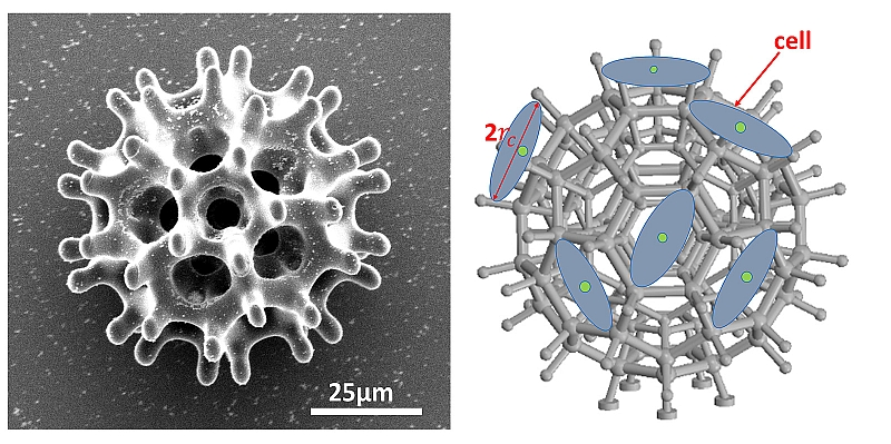 The porous burr-shaped structure of the microrobot is optimal for carrying cell loads through the bloodstream.