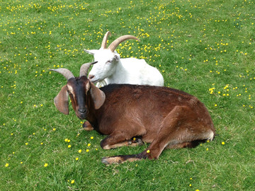 New study: Goats more 'cognitively flexible' than sheep